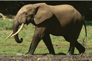 african-forest-elephant-300