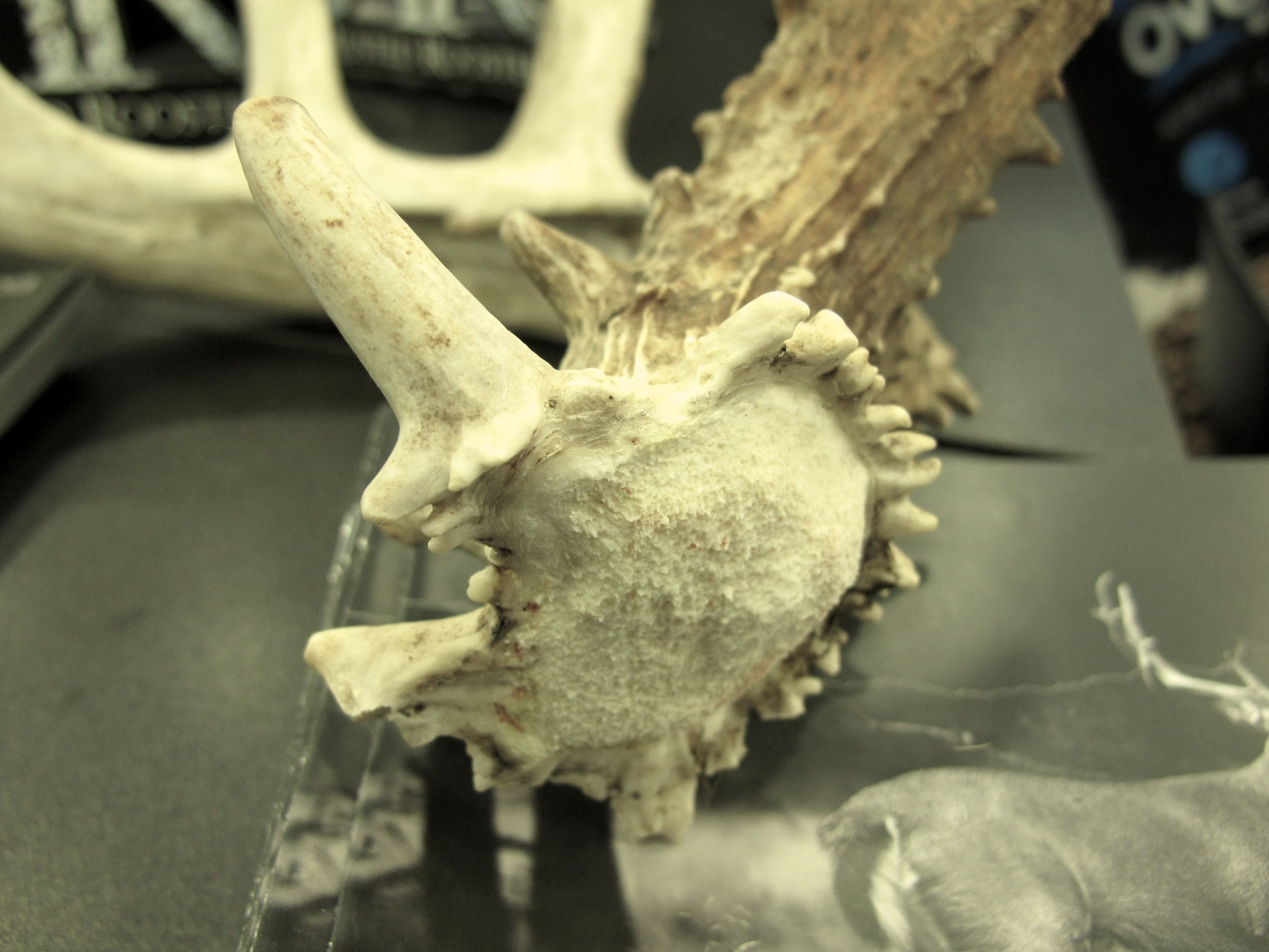 Antler-Pedicle-