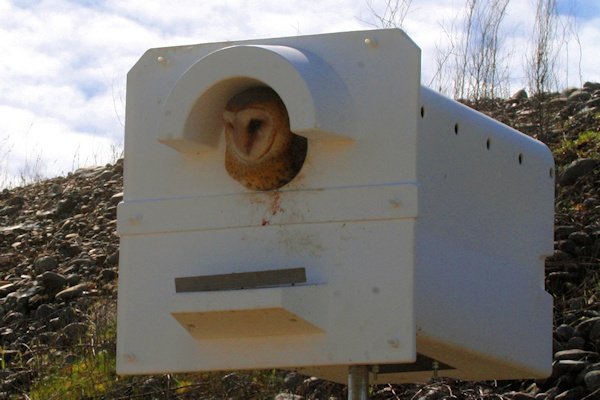 Economic Barn Owls 2