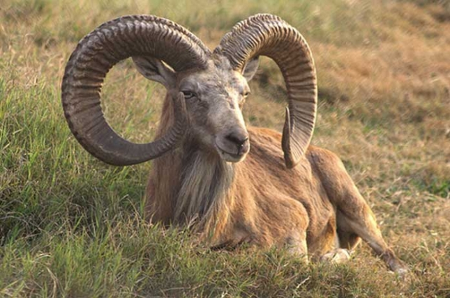 Argali divlja ovca – Ovis ammon L. – eng. Argali wild sheep, Mountain sheep