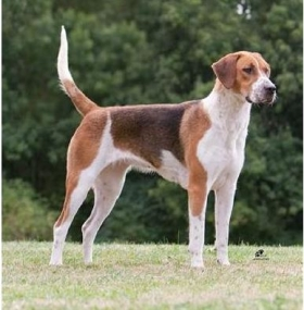 Engleski lisičar – English foxhound
